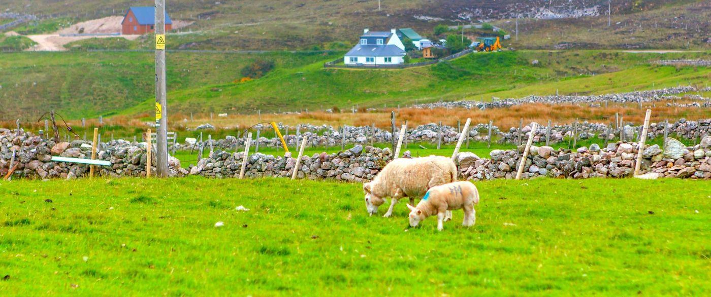 苏格兰见闻,咱家的牛羊_图1-33