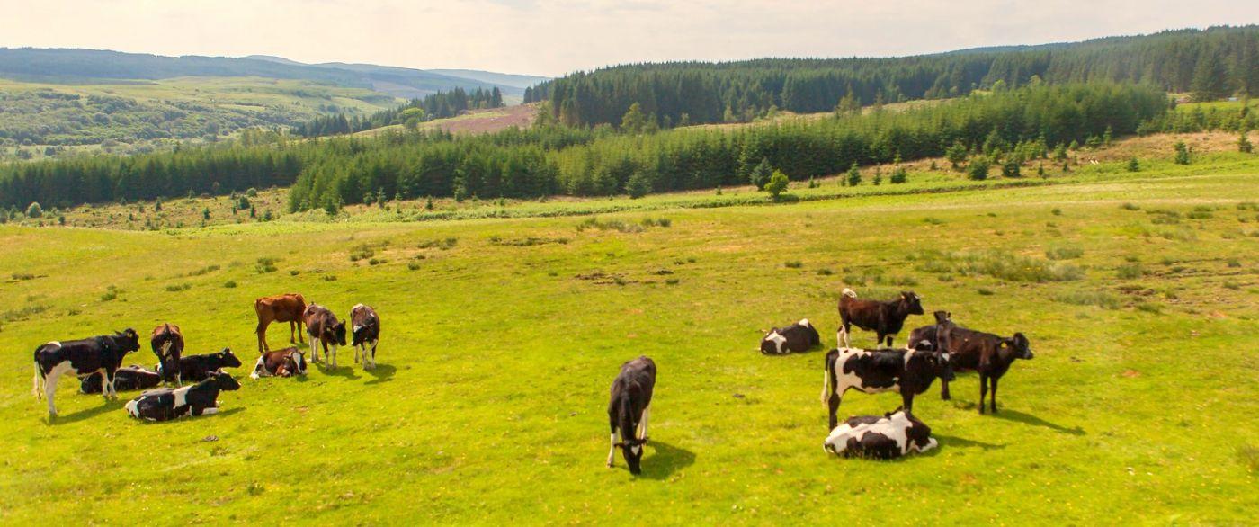 苏格兰见闻,咱家的牛羊_图1-31