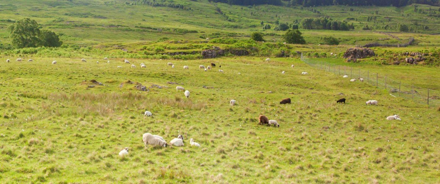 苏格兰见闻,咱家的牛羊_图1-28