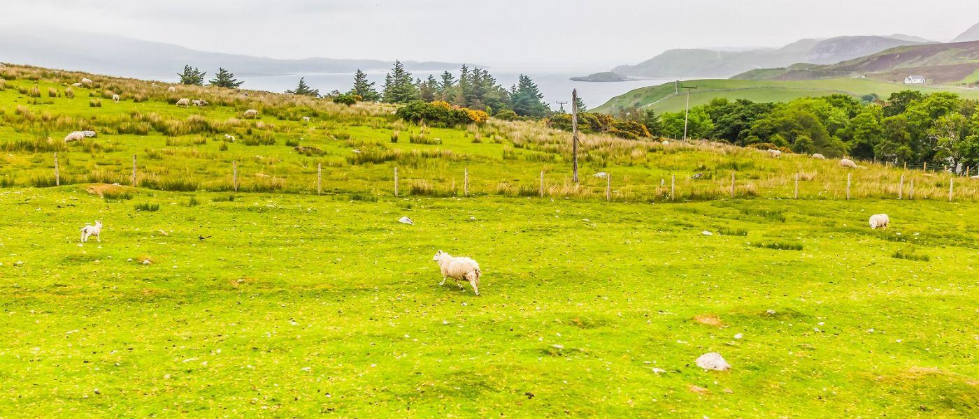 苏格兰见闻,咱家的牛羊_图1-24