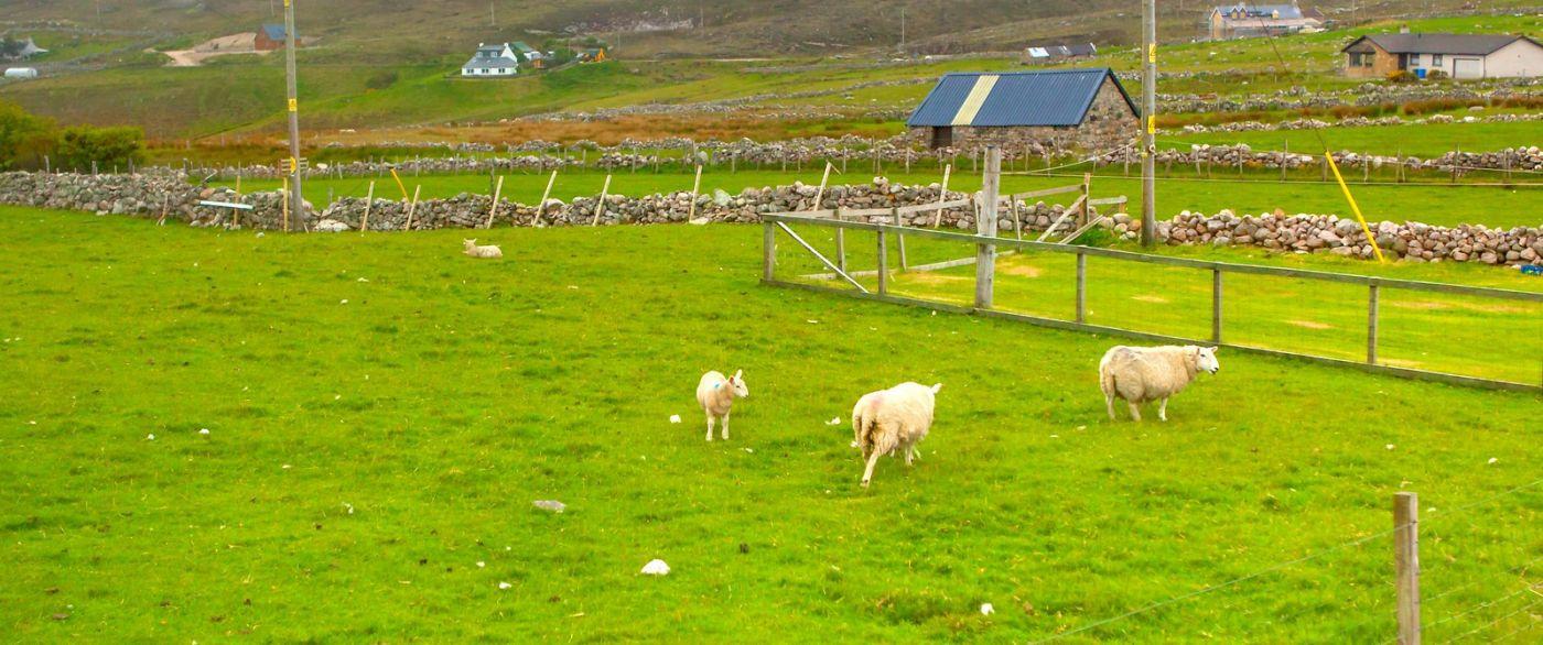苏格兰见闻,咱家的牛羊_图1-23