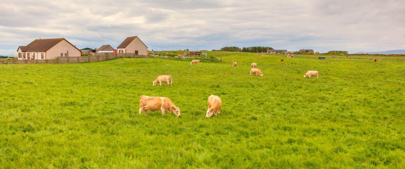 苏格兰见闻,咱家的牛羊_图1-21