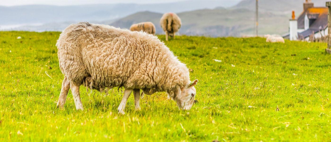 苏格兰见闻,咱家的牛羊_图1-1
