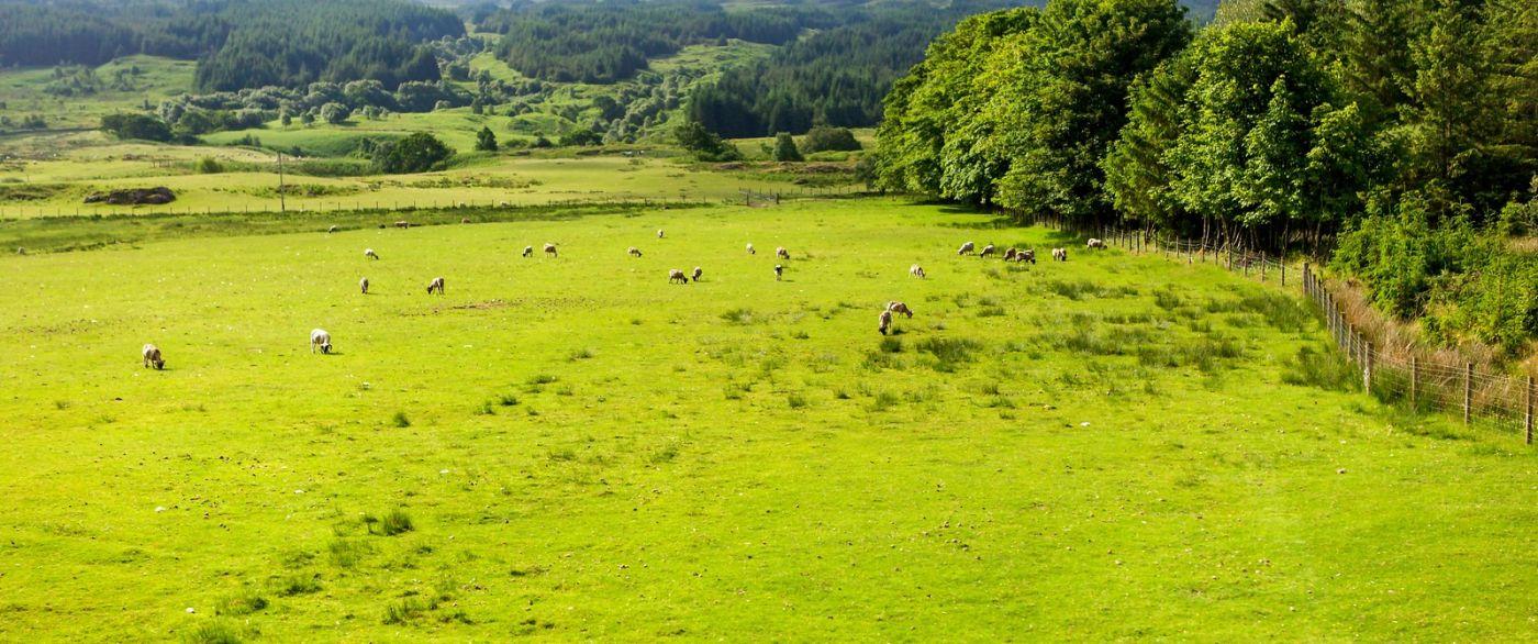 苏格兰见闻,咱家的牛羊_图1-4