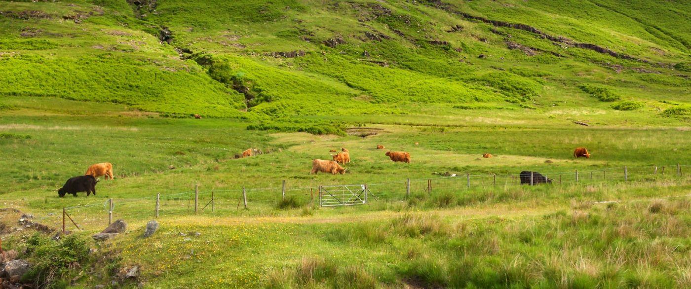 苏格兰见闻,咱家的牛羊_图1-5