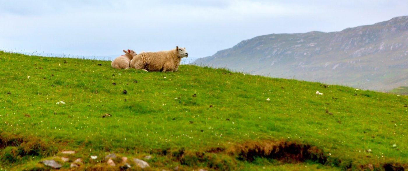 苏格兰见闻,咱家的牛羊_图1-7