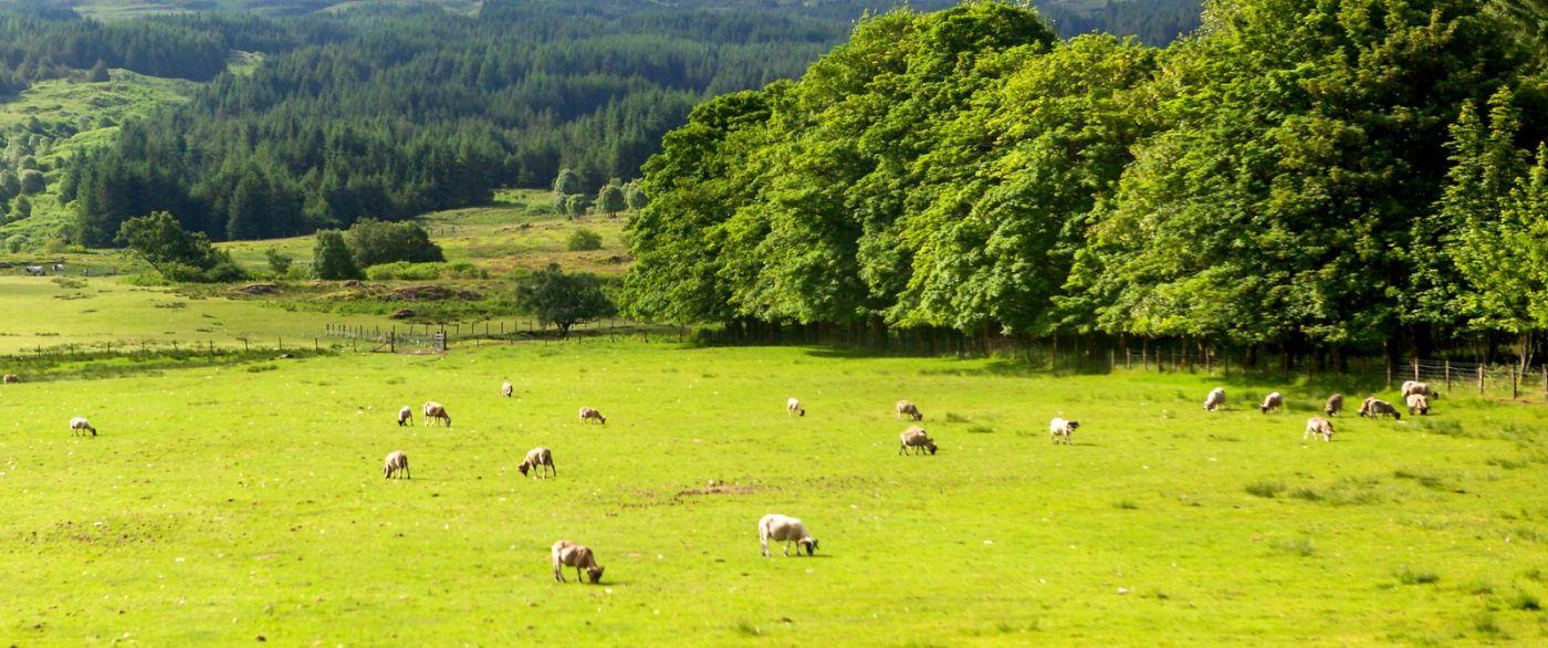 苏格兰见闻,咱家的牛羊_图1-10