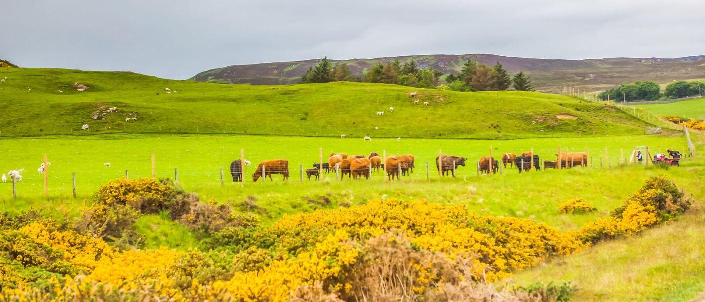 苏格兰见闻,咱家的牛羊_图1-11