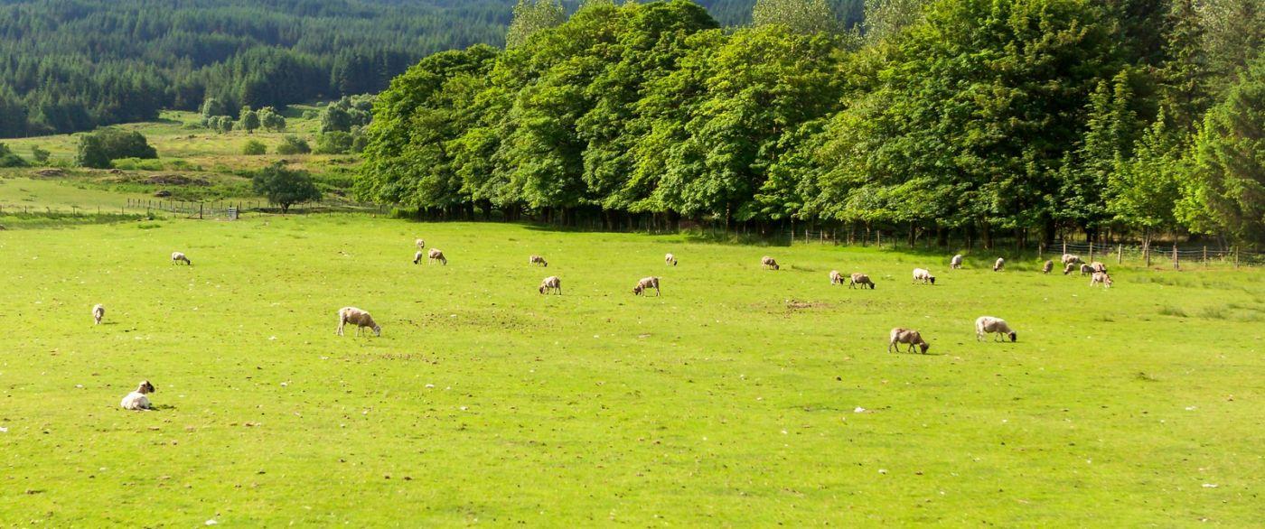 苏格兰见闻,咱家的牛羊_图1-12
