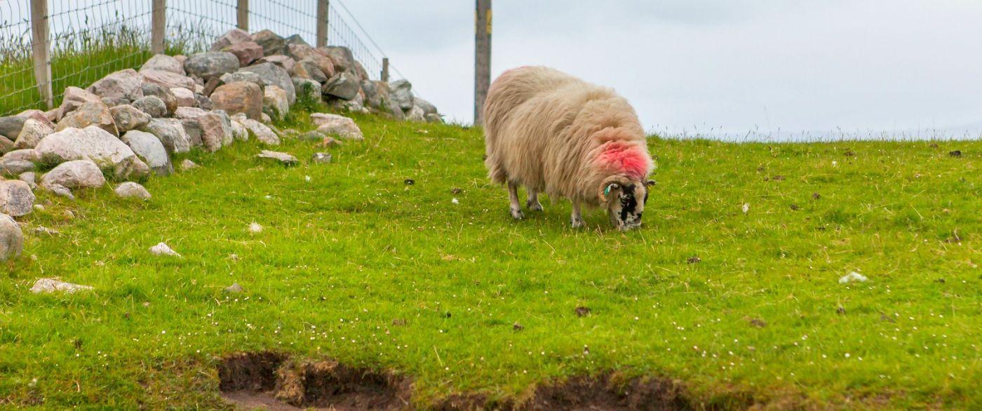 苏格兰见闻,咱家的牛羊_图1-15
