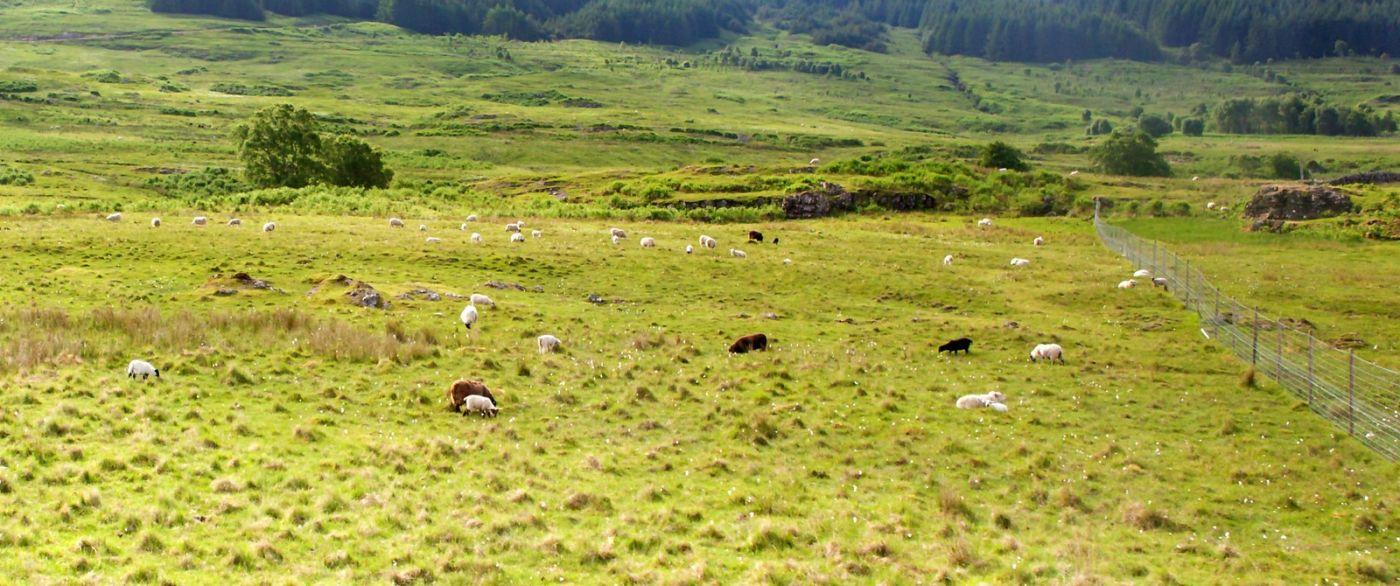 苏格兰见闻,咱家的牛羊_图1-17