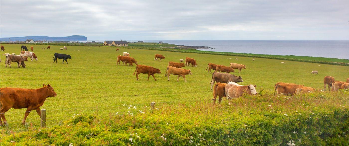 苏格兰见闻,咱家的牛羊_图1-19