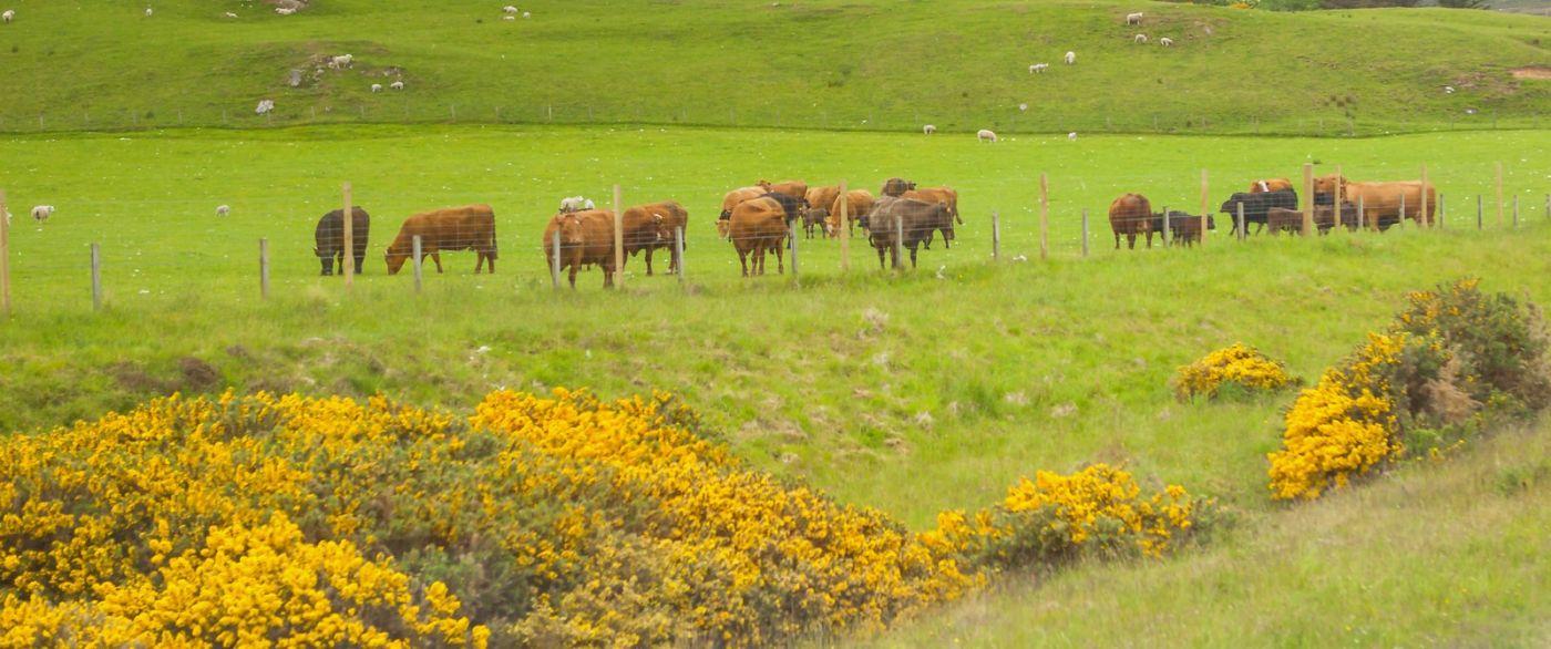 苏格兰见闻,咱家的牛羊_图1-20