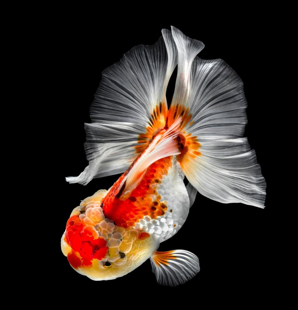 金鱼能为你带来好运_图1-1