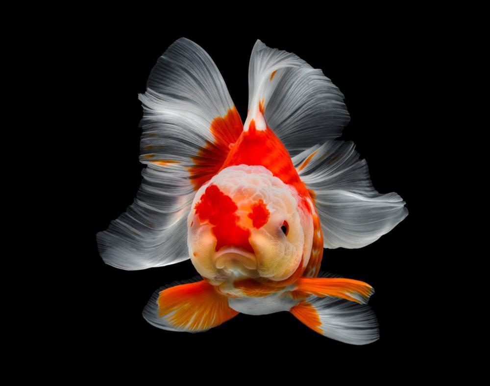 金鱼能为你带来好运_图1-4