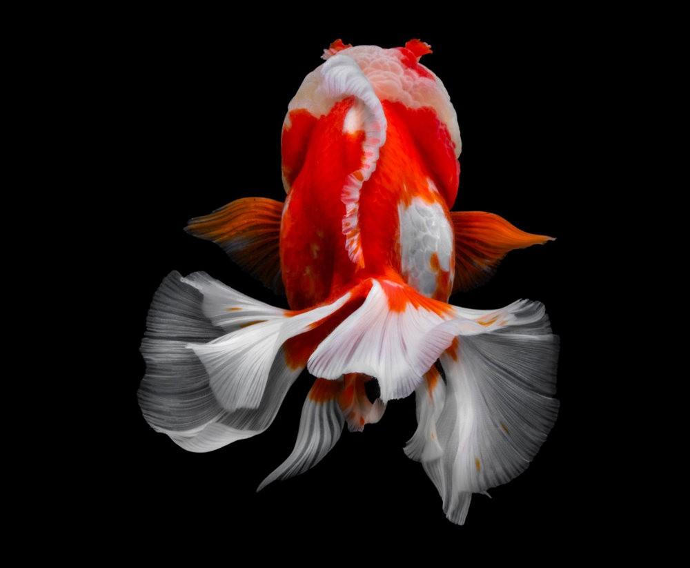 金鱼能为你带来好运_图1-5