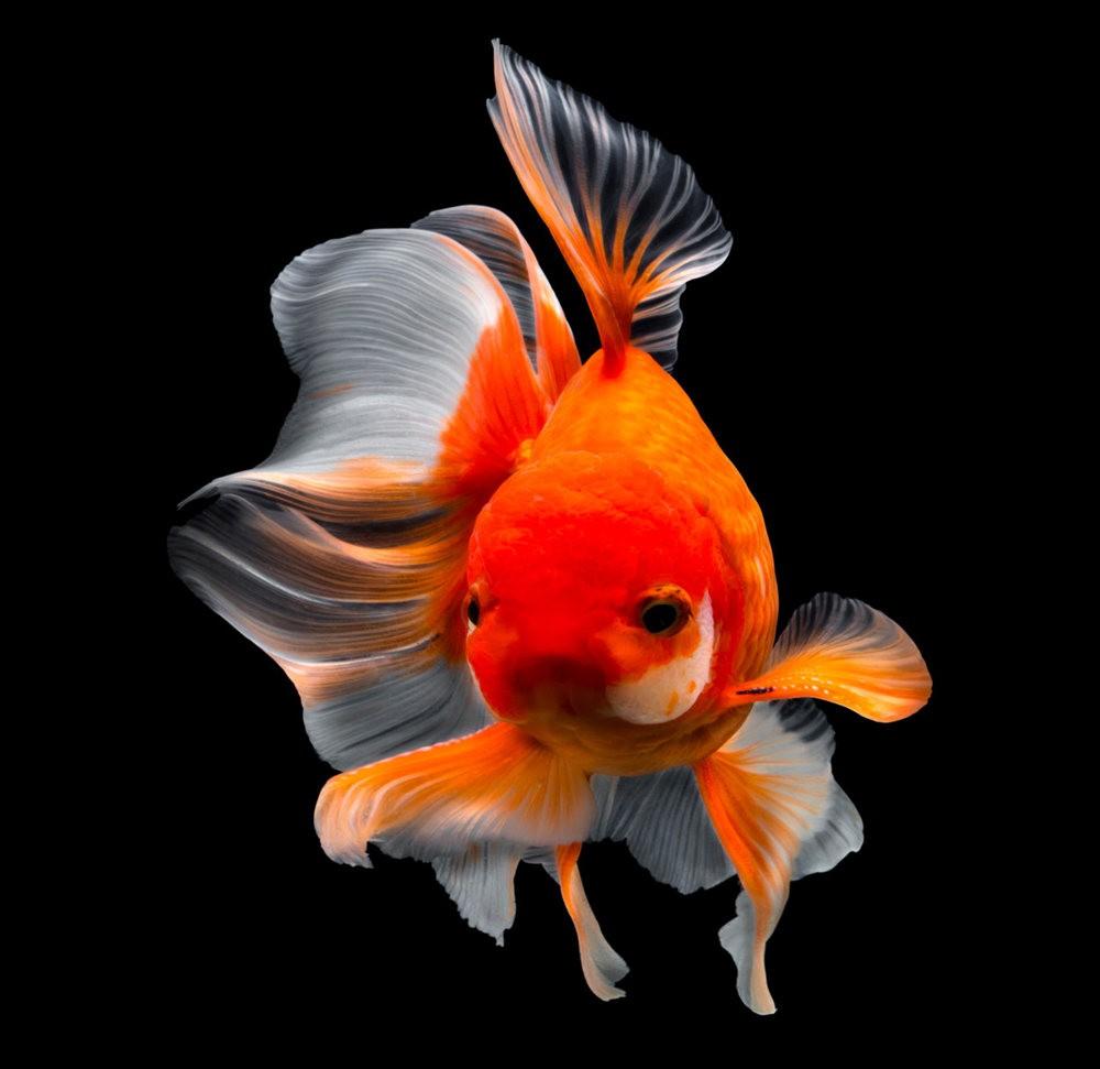 金鱼能为你带来好运_图1-6