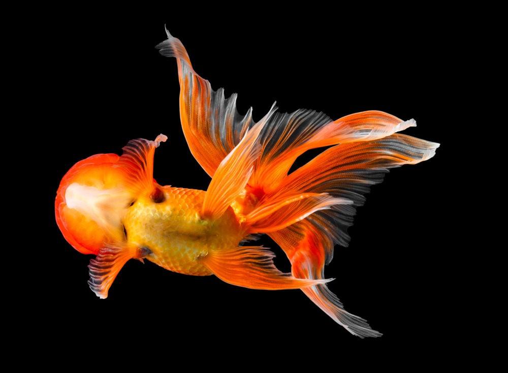 金鱼能为你带来好运_图1-7