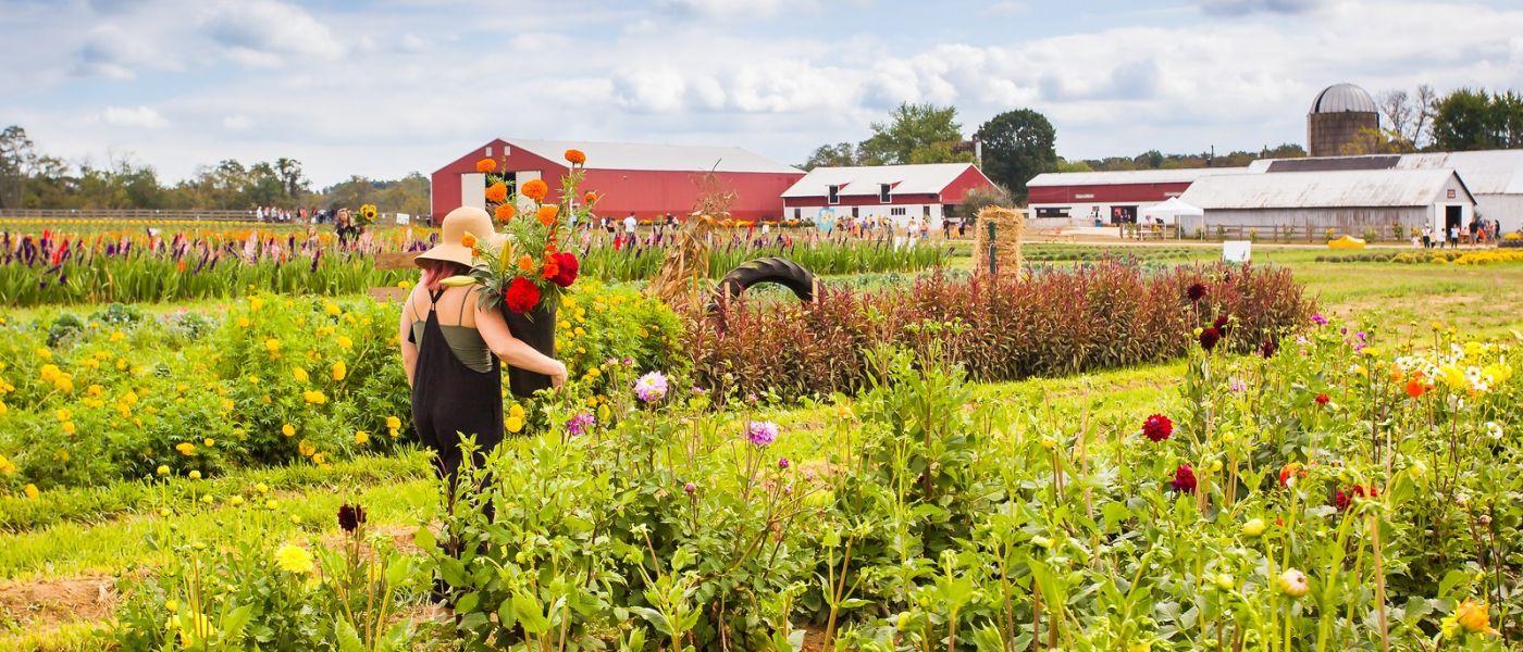 荷兰岭农场(Holland Ridge Farms, NJ),层层叠叠的花蕾_图1-18