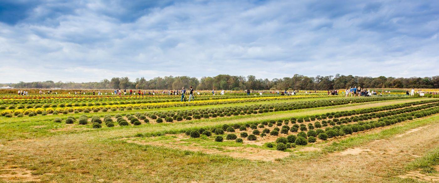 荷兰岭农场(Holland Ridge Farms, NJ),层层叠叠的花蕾_图1-15