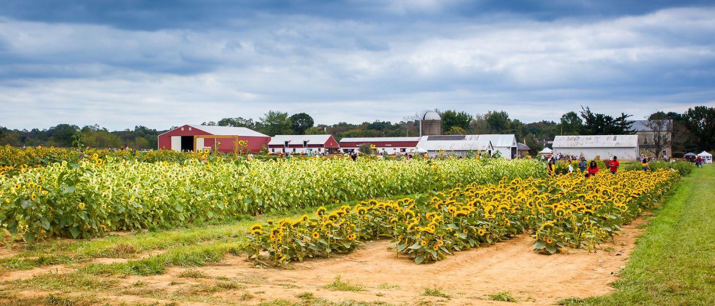荷兰岭农场(Holland Ridge Farms, NJ),层层叠叠的花蕾_图1-19