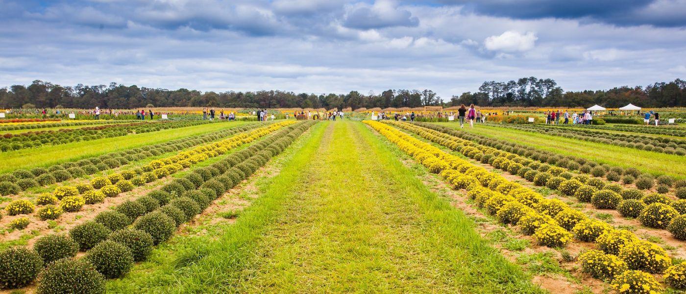 荷兰岭农场(Holland Ridge Farms, NJ),层层叠叠的花蕾_图1-14