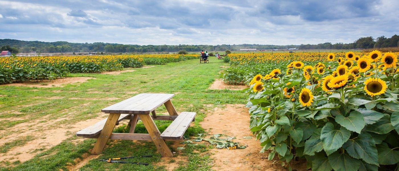 荷兰岭农场(Holland Ridge Farms, NJ),层层叠叠的花蕾_图1-5