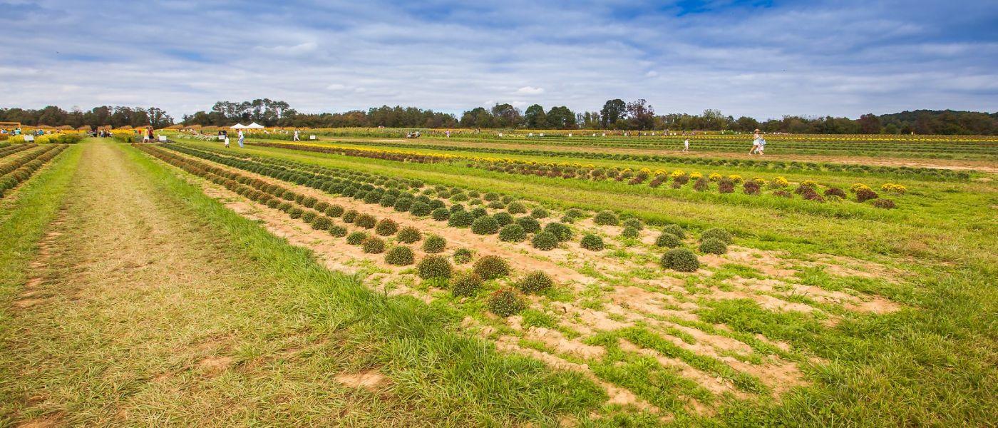 荷兰岭农场(Holland Ridge Farms, NJ),层层叠叠的花蕾_图1-6