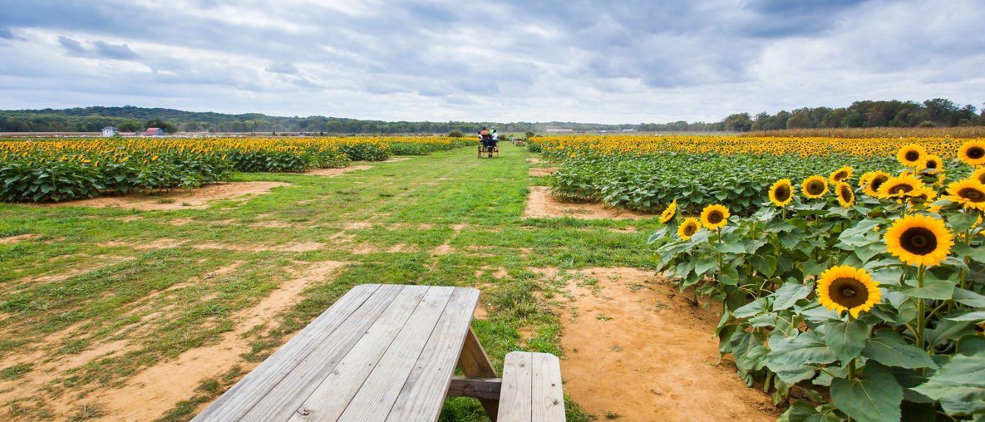 荷兰岭农场(Holland Ridge Farms, NJ),层层叠叠的花蕾_图1-8