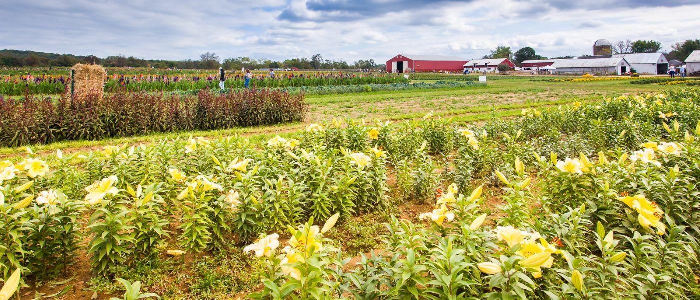 荷兰岭农场(Holland Ridge Farms, NJ),层层叠叠的花蕾_图1-7