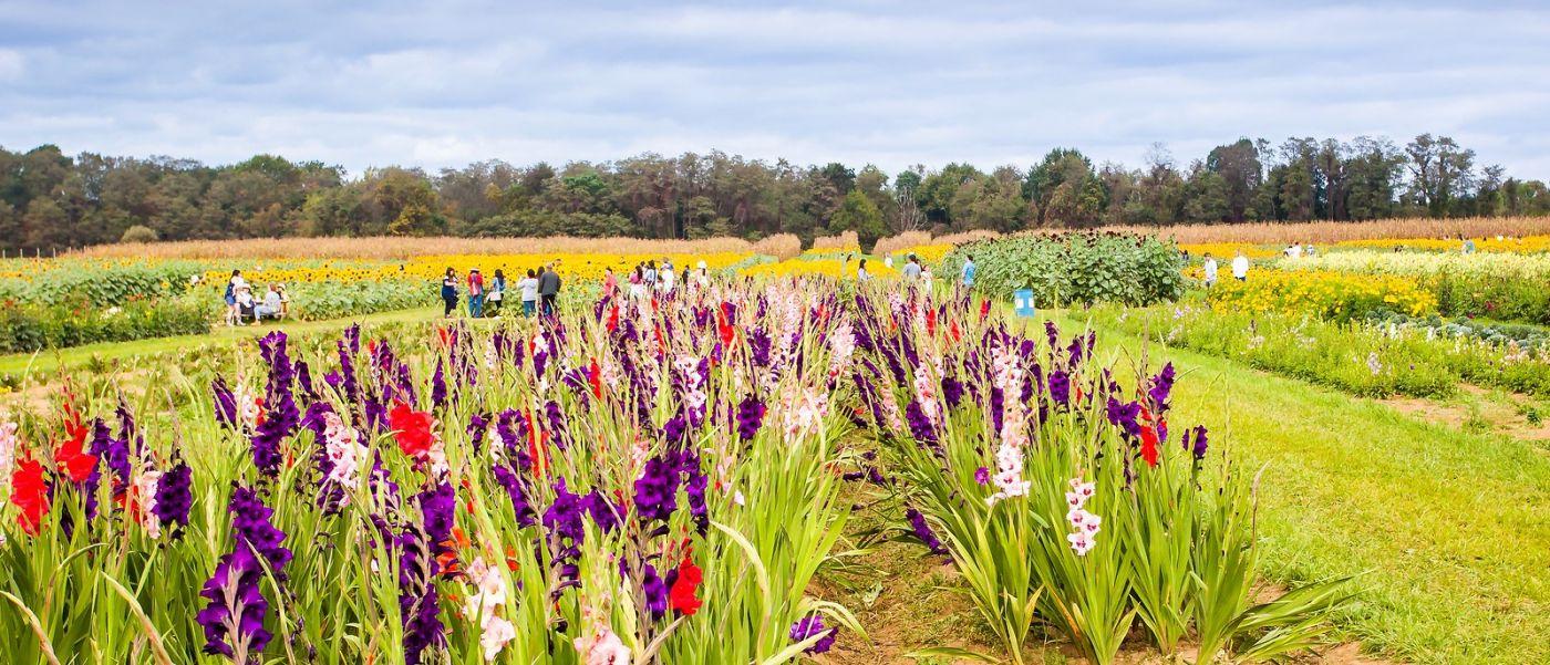 荷兰岭农场(Holland Ridge Farms, NJ),层层叠叠的花蕾_图1-3