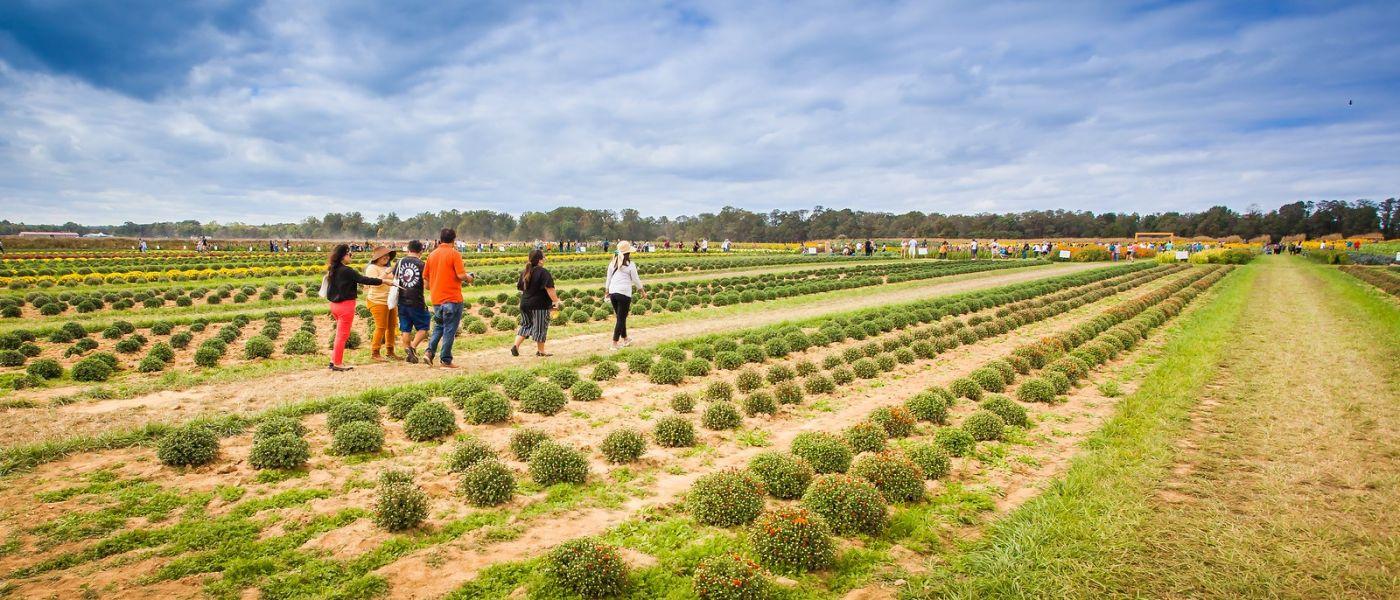 荷兰岭农场(Holland Ridge Farms, NJ),层层叠叠的花蕾_图1-2