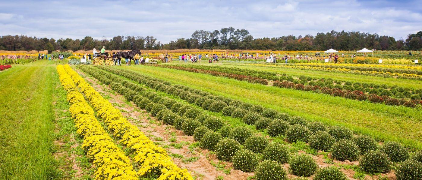 荷兰岭农场(Holland Ridge Farms, NJ),层层叠叠的花蕾_图1-23