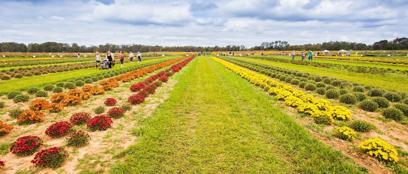 荷兰岭农场(Holland Ridge Farms, NJ),层层叠叠的花蕾_图1-25