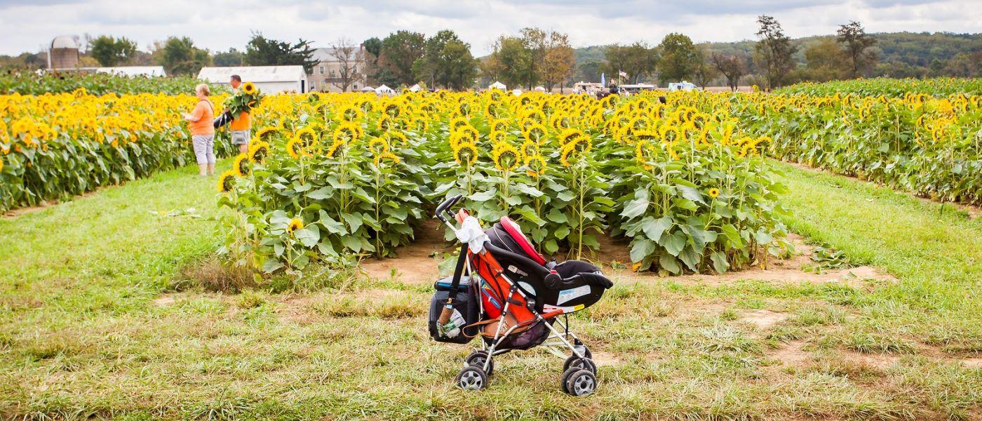 荷兰岭农场(Holland Ridge Farms, NJ),层层叠叠的花蕾_图1-28