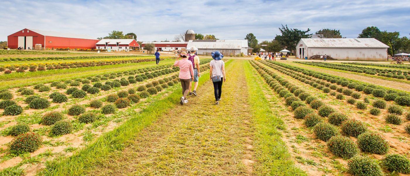荷兰岭农场(Holland Ridge Farms, NJ),层层叠叠的花蕾_图1-32