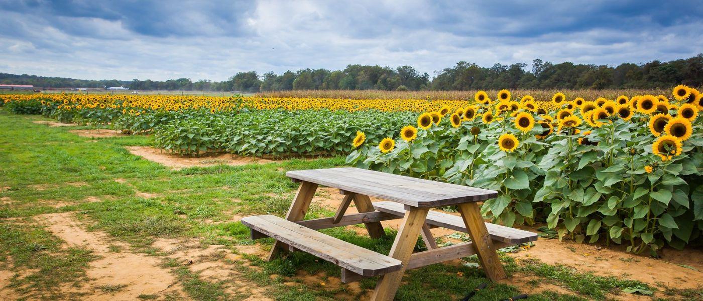 荷兰岭农场(Holland Ridge Farms, NJ),层层叠叠的花蕾_图1-31