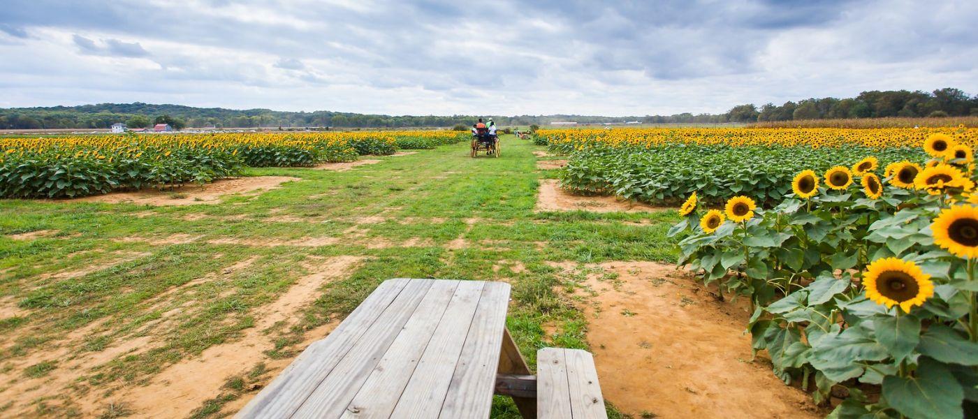 荷兰岭农场(Holland Ridge Farms, NJ),层层叠叠的花蕾_图1-30