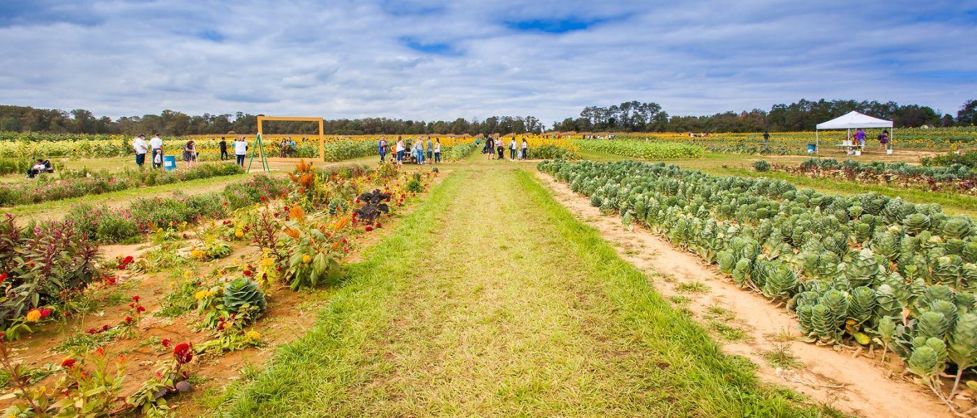 荷兰岭农场(Holland Ridge Farms, NJ),层层叠叠的花蕾_图1-29