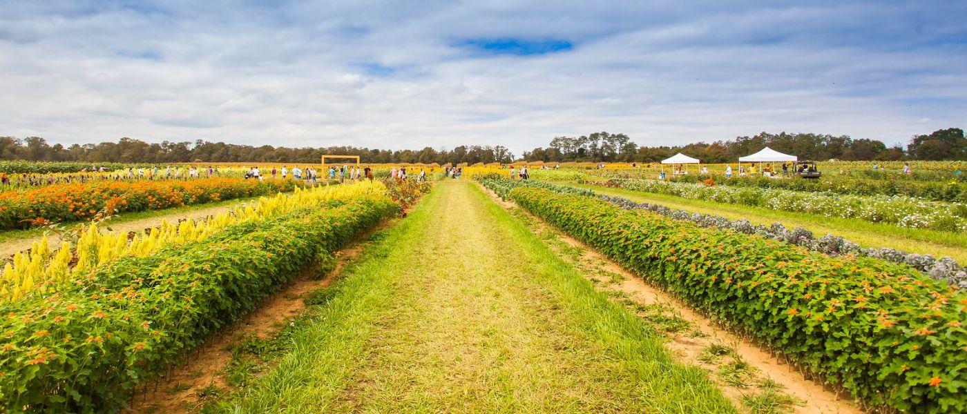 荷兰岭农场(Holland Ridge Farms, NJ),层层叠叠的花蕾_图1-33