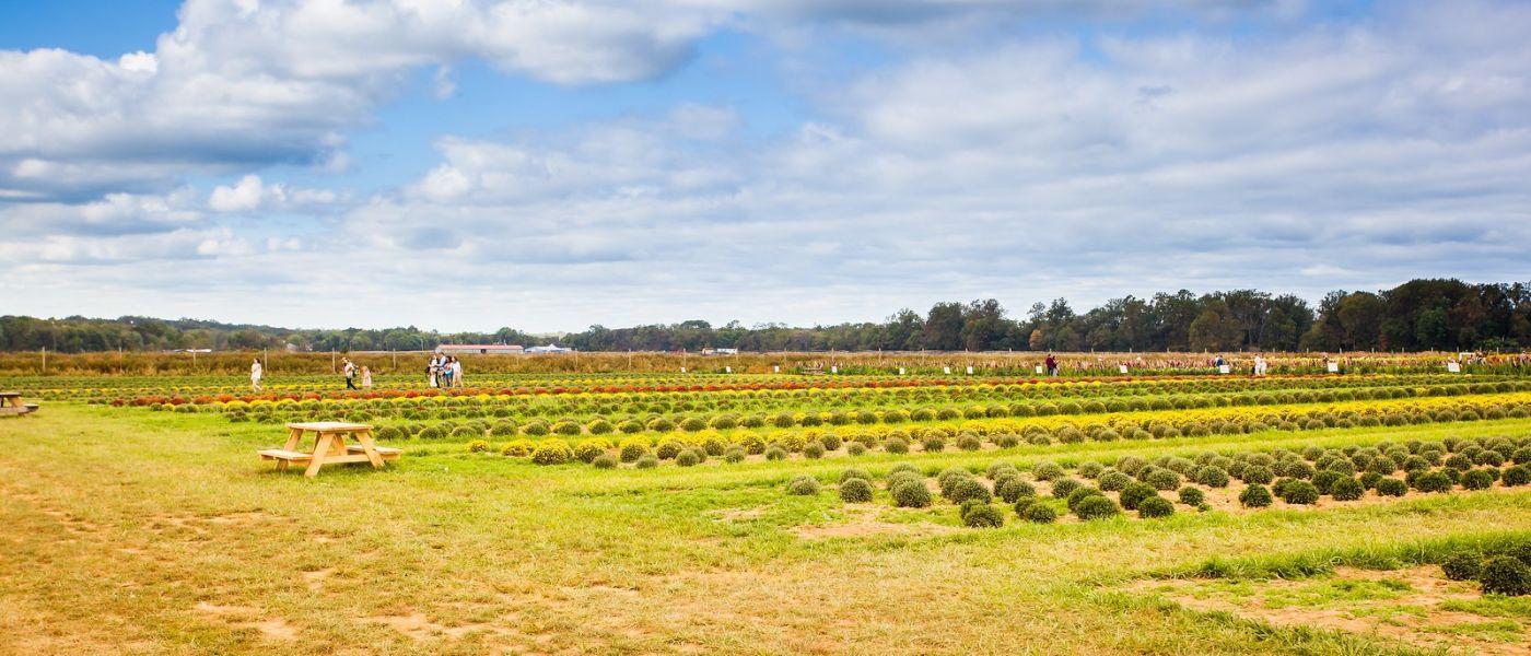 荷兰岭农场(Holland Ridge Farms, NJ),层层叠叠的花蕾_图1-34