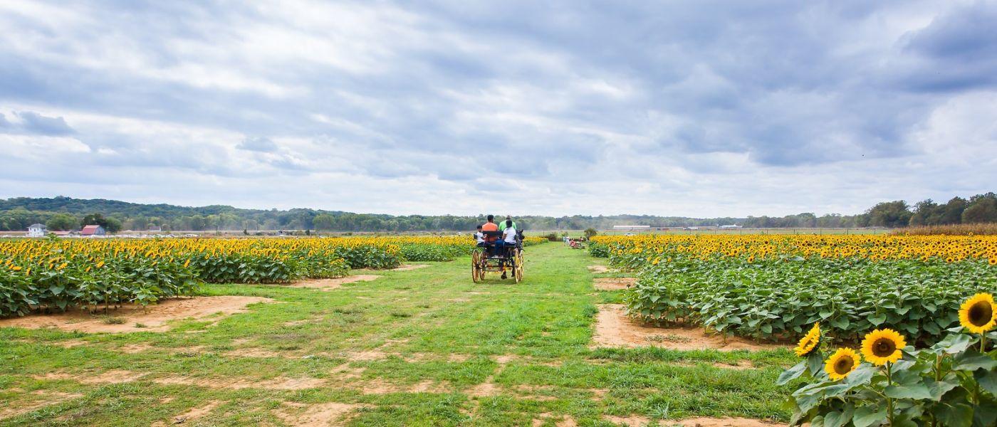 荷兰岭农场(Holland Ridge Farms, NJ),层层叠叠的花蕾_图1-35