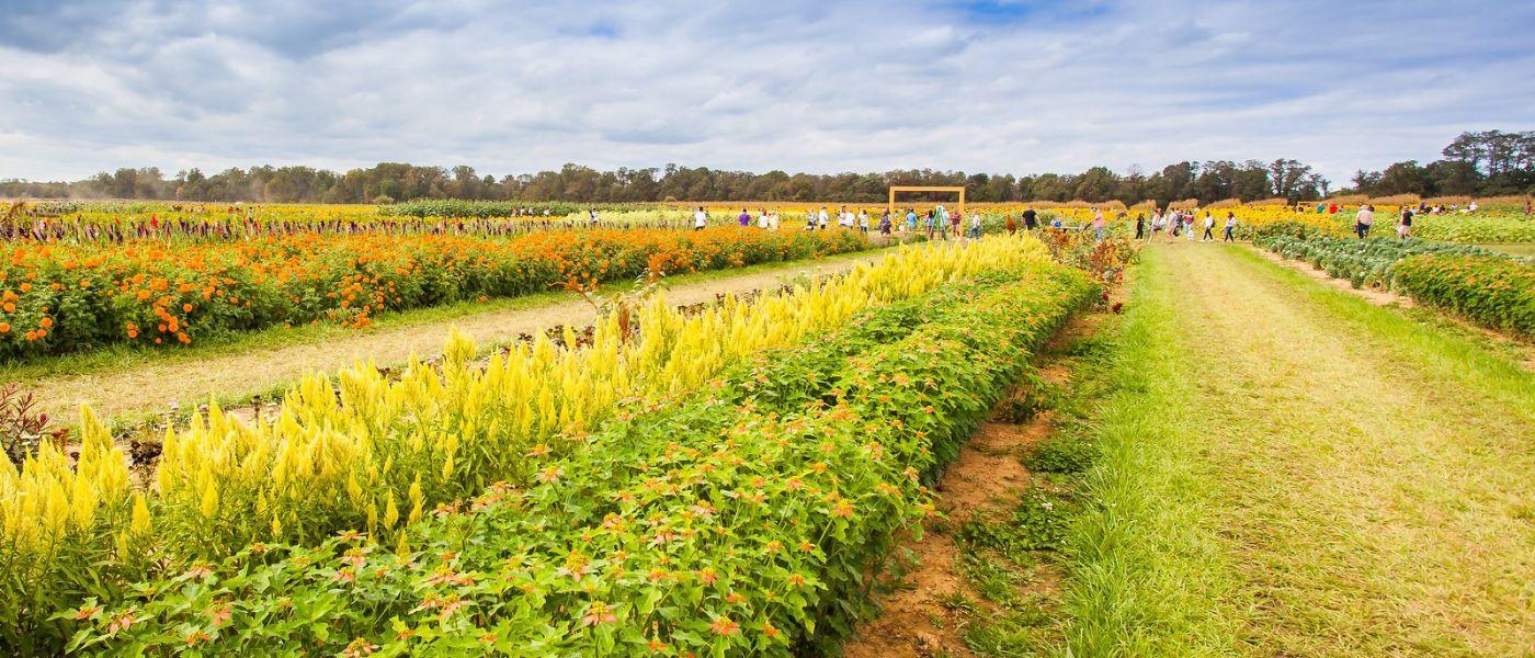 荷兰岭农场(Holland Ridge Farms, NJ),层层叠叠的花蕾_图1-36