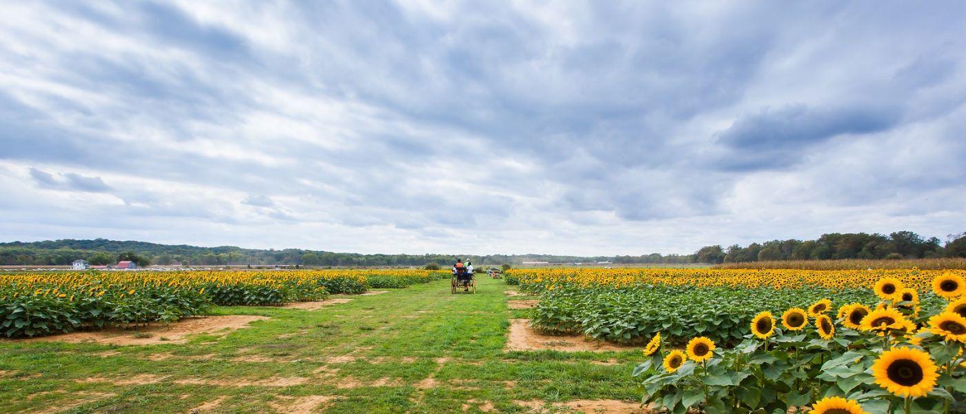 荷兰岭农场(Holland Ridge Farms, NJ),层层叠叠的花蕾_图1-39