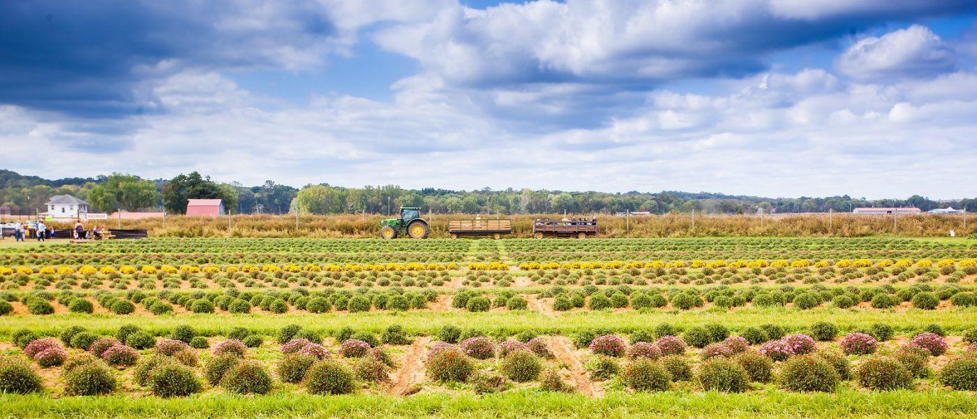 荷兰岭农场(Holland Ridge Farms, NJ),层层叠叠的花蕾_图1-38