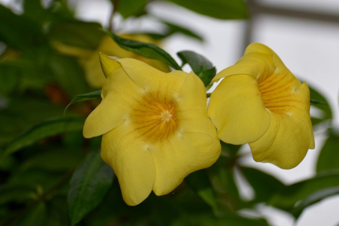 黄蝉和白蝉_图1-11