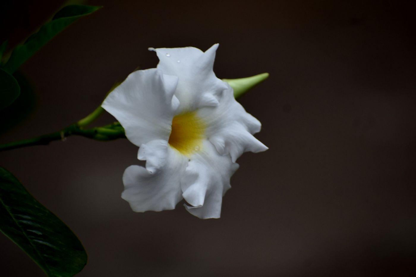 黄蝉和白蝉_图1-18