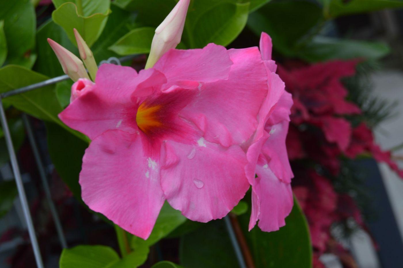 紫蝉和红蝉_图1-21