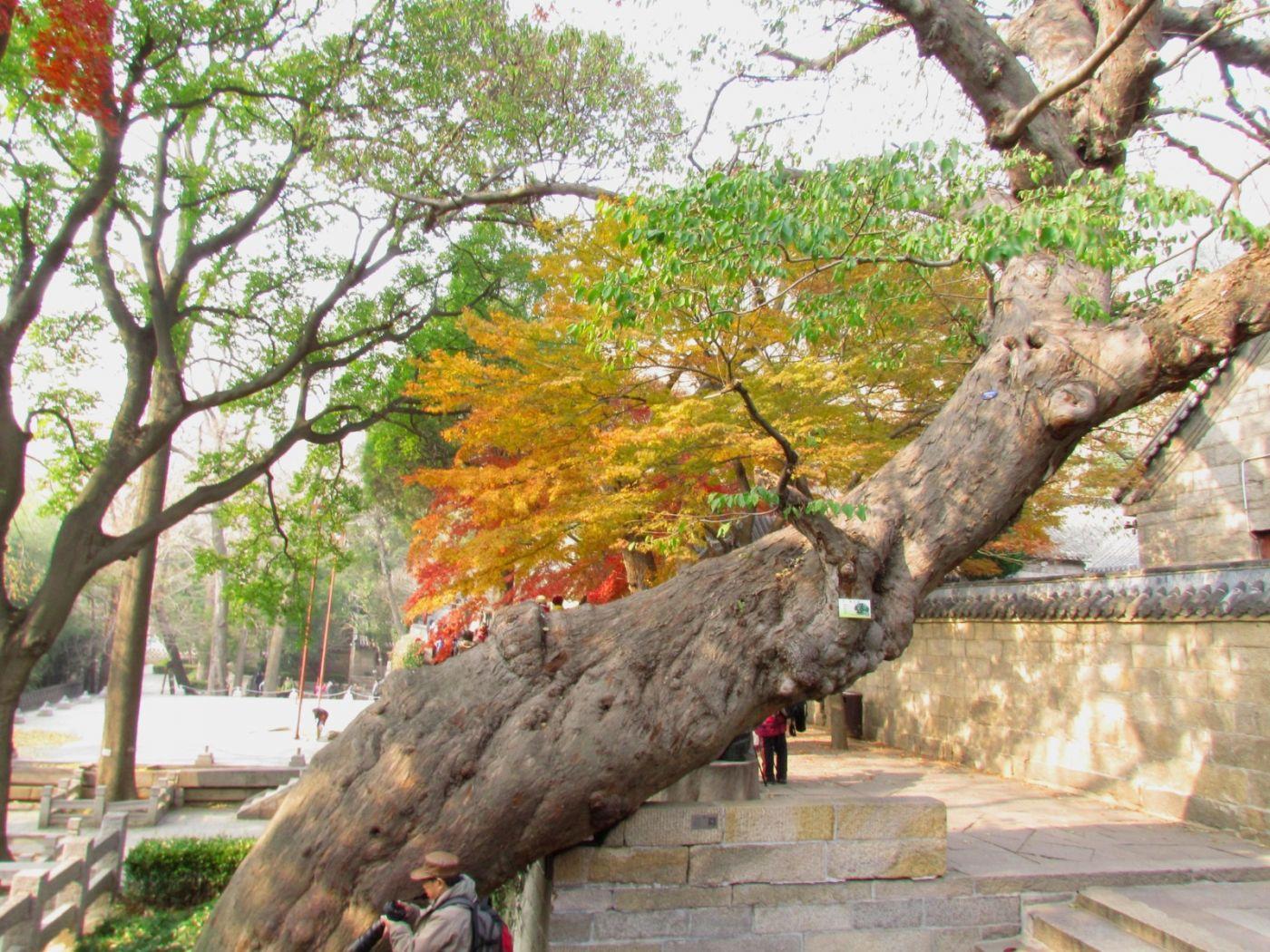 古刹、老树、红叶_图1-16