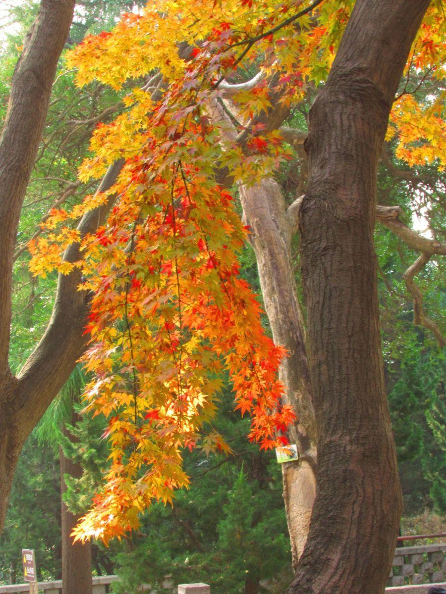 古刹、老树、红叶_图1-17